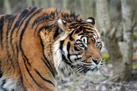 Huge aggressive tiger free image