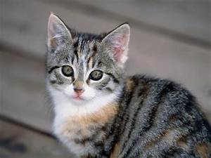 Tabby Cats Pictures and Info