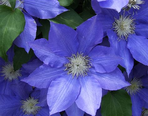 photo flower clematis blue flora  image