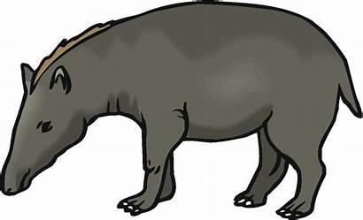 Tapir Clipart Animals Tapirs Lowland Clipground Gray