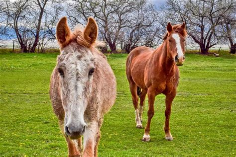 mules horse working remember horses donkeys than faster istock things researchers significantly learn found