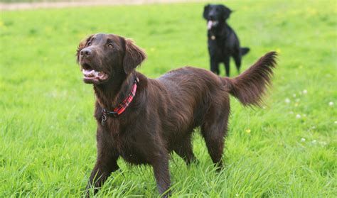 Flat Coated Retriever Molting by Types Of Breeds Golden Retriever Breeds Picture