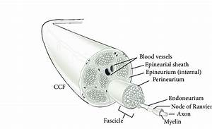 Peripheral Nerve Anatomy  4