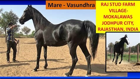 horse breed indian india marwari stud farm mare raj jodhpur