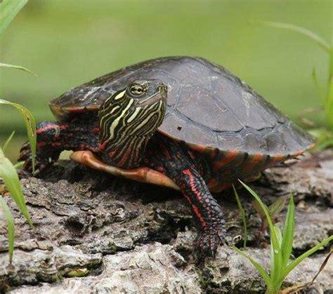 painted turtle painted turtles slideshow