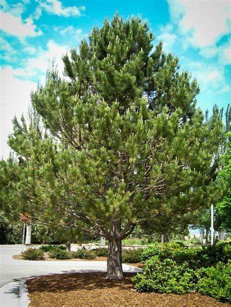 buy pine trees   tree center