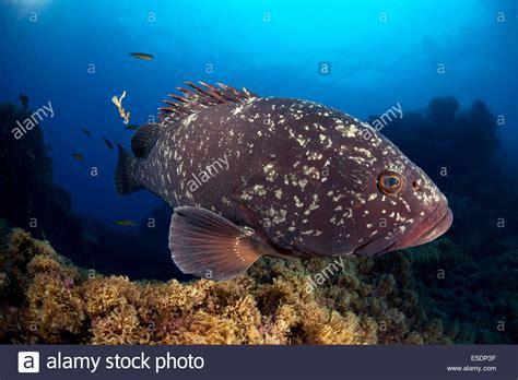 grouper ocean dusky santa azores maria portugal atlantic alamy shopping cart