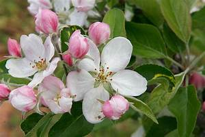 Washington State Apple Blossom Festival