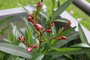 Oleander Düngen Mit Blaukorn : oleander umtopfen anleitung schritt f r schritt ~ Lizthompson.info Haus und Dekorationen