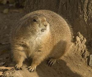 Fat Prairie Dog | Flickr - Photo Sharing!