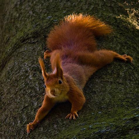 eurasian red squirrel   shot    nature