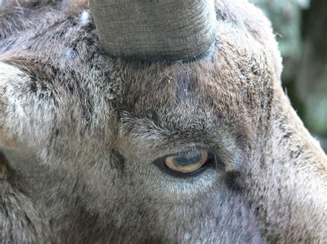 kostenlose foto natur tier hirsch ziege zoo horn