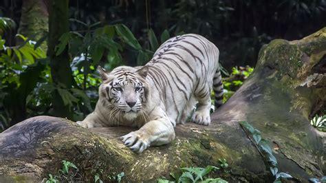 Скачать обои белый тигр, в лесу, white tiger, in the woods ...
