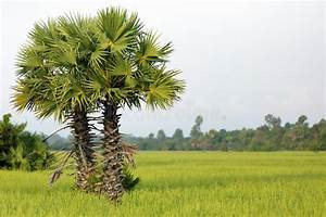 Palm Tree And Rice Stock Photo  Image Of Field