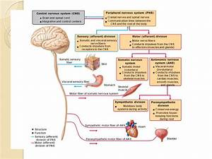 The Nervous System I: The Spinal Cord and Spinal Nerves ...