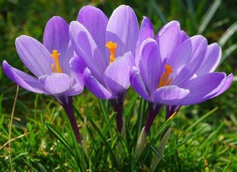 buy wholesale saffron crocus sativus from china