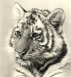 tiger cub pencil drawing | Flickr - Photo Sharing!
