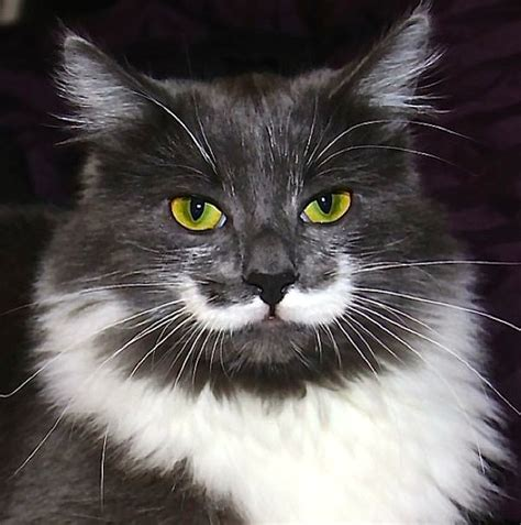 cat mustache wallpaper  hd animal screen savers