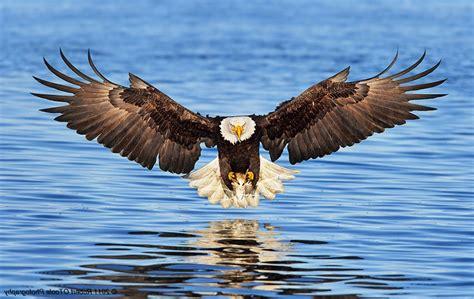 gambar burung elang diatas air pernik dunia