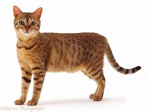 Brown spotted Bengal cat photo WP05418
