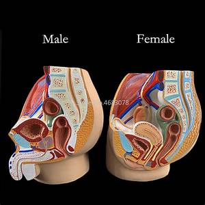Sagittal Pelvic Anatomy Model For Male And Female  Male