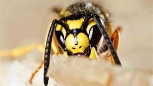 Was Tun Gegen Wespen Im Kirschlorbeer : wespen was man gegen diese insekten alles tun muss welt ~ Lizthompson.info Haus und Dekorationen