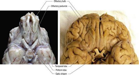 cranial nerves veterian key