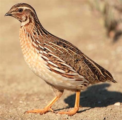 Quail Farming In India Information And Guide Modern