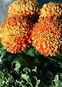 Welche Blumen Blühen Im Oktober : welche blumen bl hen im herbst ~ Bigdaddyawards.com Haus und Dekorationen