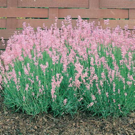 planting lavender seeds rosea lavender seeds