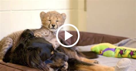 rescued pup raises baby animals   cincinnati zoo