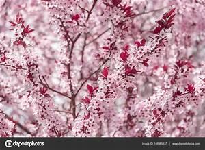 Baum Mit Blüten : bl hender baum mit rosa bl ten stockfoto believeinme 148965837 ~ Frokenaadalensverden.com Haus und Dekorationen
