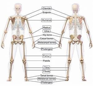 The Long Bones In Human Anatomy Are Highlighted  Image