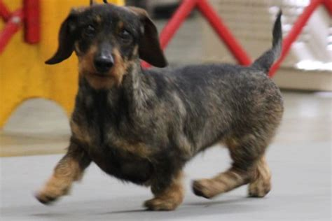 dachshund breed information dachshund images dachshund
