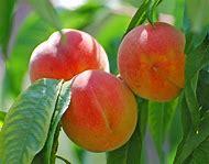 Florida Fruit Trees Peach