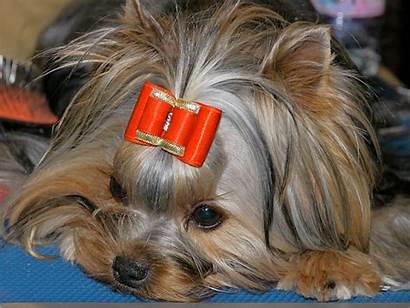 Yorkies Dog Dogs Monaco Puppy Breed Cats