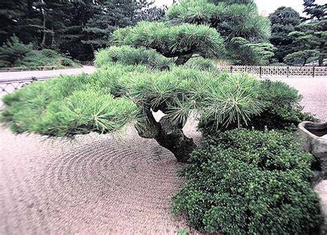pini da giardino tipi di pini da giardino awesome tavolo da giardino di