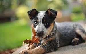 pies szczeniak owczarek australijski jesienny lisc