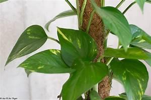 Grande Plante Verte D Intérieur : 3 id es de plantes d 39 int rieur se plaisant l 39 ombre au fil du thym ~ Voncanada.com Idées de Décoration