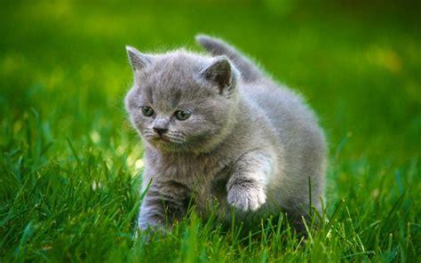 Grey Animal Wallpaper - cats grey kittens fluffy grass animals cat kitten baby