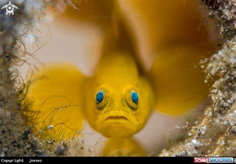 Lubricogobius Exiguus Yellow Pygmy Goby