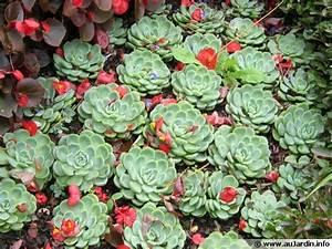 Plante Succulente Espèces Représentatives : echeveria conseils de culture ~ Nature-et-papiers.com Idées de Décoration