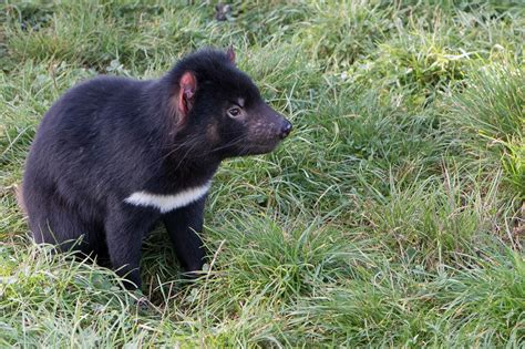 Their powerful jaws, sharp claws, and intense screeches give them a fierce reputation that. Tasmanian Devil Contagious Facial Cancer
