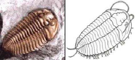 trilobites  silverfish whats  bug