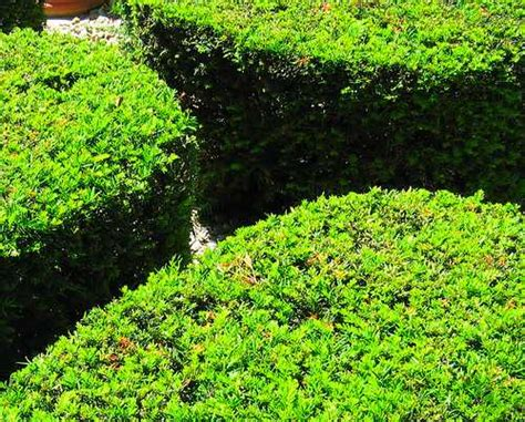 when to trim bushes how to trim and prune shrubs