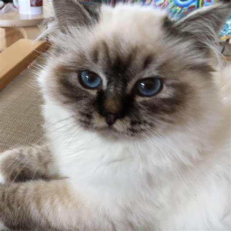 Cat Breeders by Sunsoar Cattery Birman Cat Breeder