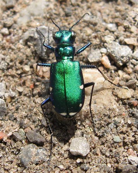 blue tiger beetle