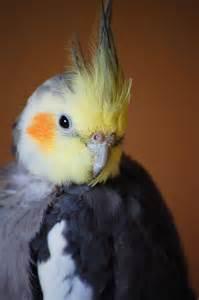 Cockatiel Birds Male