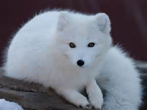 Animal Tundra Arctic Fox