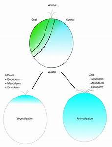 Normal Development And Perturbations  Normal Sea Urchin